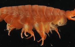 Crustáceo necrófago é descoberto em águas profundas