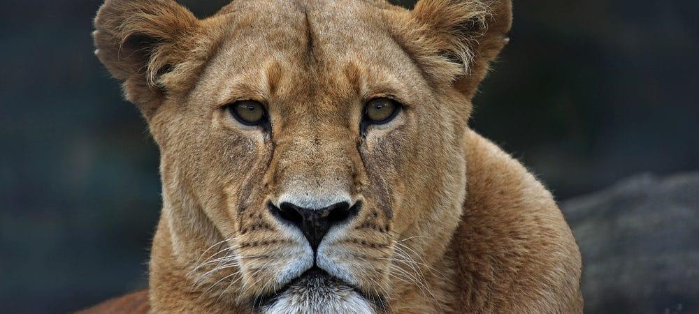Lioness. Image: Michael Zeitner/shutterstock