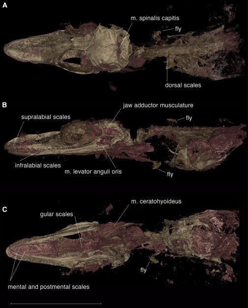 Fóssil do Oculudentavis naga