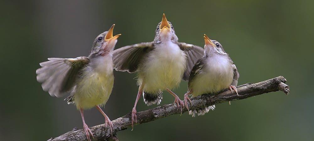 Pássaros cantando. Imagem: Shutterstock