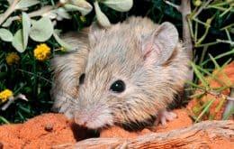 Rato dado como extinto há 150 anos é encontrado em ilha na Austrália