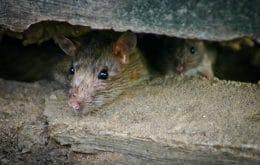 La infestación de ratas en Australia podría convertirse en un problema crónico, explica el profesor