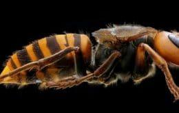 Killer wasp found in United States