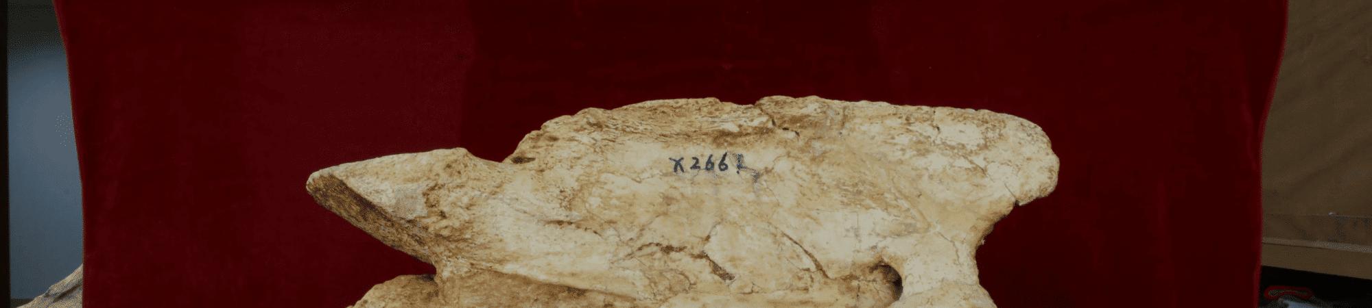 Fóssil de rinoceronte gigante