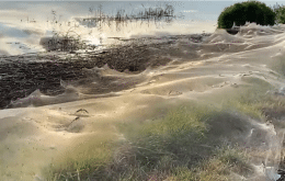 """Enormes teias de aranha dão aspecto """"fantasmagórico"""" à zona rural da Austrália; veja fotos"""