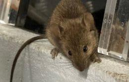 Eles não param! Invasão de ratos obriga evacuação de prisão na Austrália