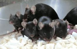 """Filhotes de rato produzidos com """"sêmen espacial"""" nascem sem nenhum defeito"""