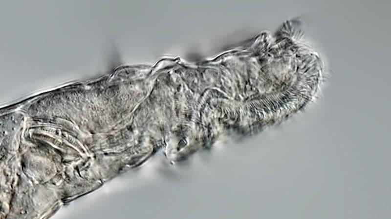 bdeloid rotifers