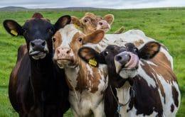 Domesticação de vacas diminuiu seus crânios, aponta estudo