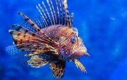 Peixe-leão ameaça vida marinha na costa brasileira