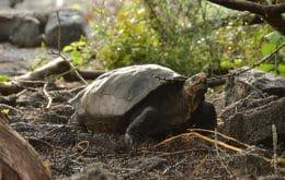 Tartaruga centenária prova que espécie não está extinta