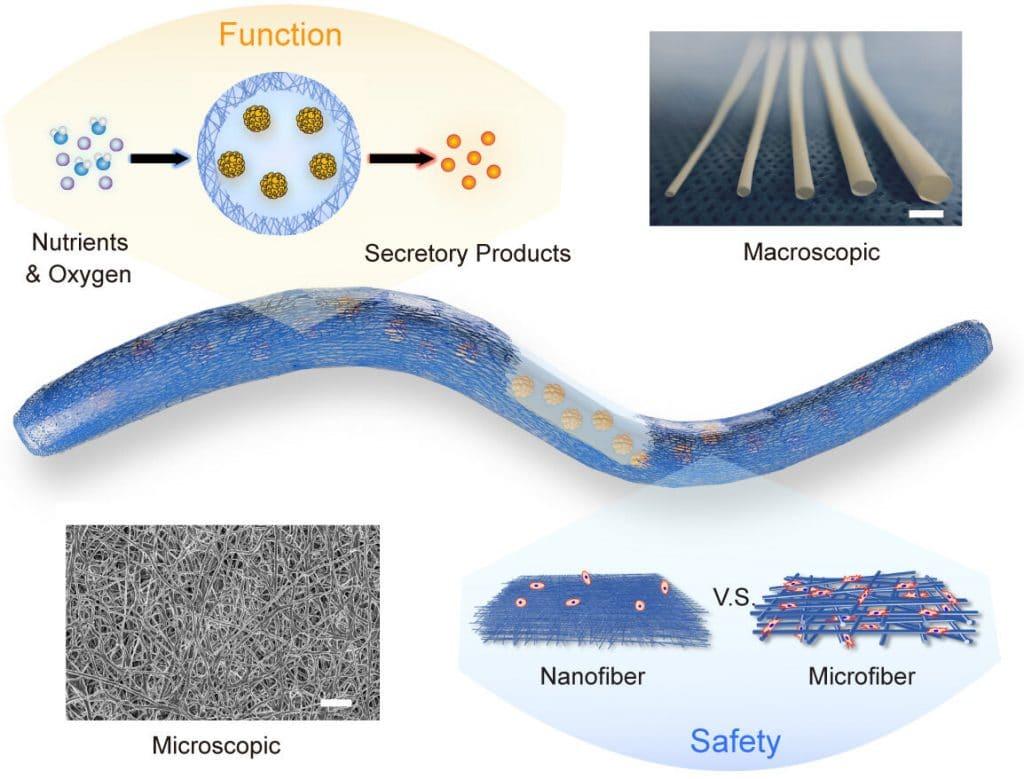Engenheiros biomédicos desenvolvem dispositivo minúsculo que pode curar a diabetes. Imagem: X. Wang et al., Science Translational Medicine (2021)