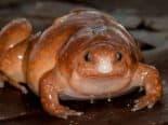 """""""Sapo zumbi"""" e outras duas espécies são descobertas na Amazônia"""