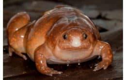 """Se descubren """"rana zombi"""" y otras dos especies en el Amazonas"""