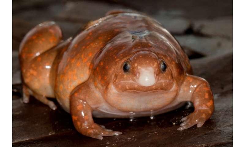 """Imagem mostra um """"sapo zumbi"""", descoberto por cientistas na Amazônia: o animal tem o naris afunilado, corpo gordo e pequeno, de cor laranja com manchas claras espalhadas pelas costas"""