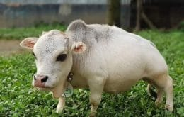 """""""Menor vaca do mundo"""" ameaça a saúde pública de Bangladesh; entenda"""