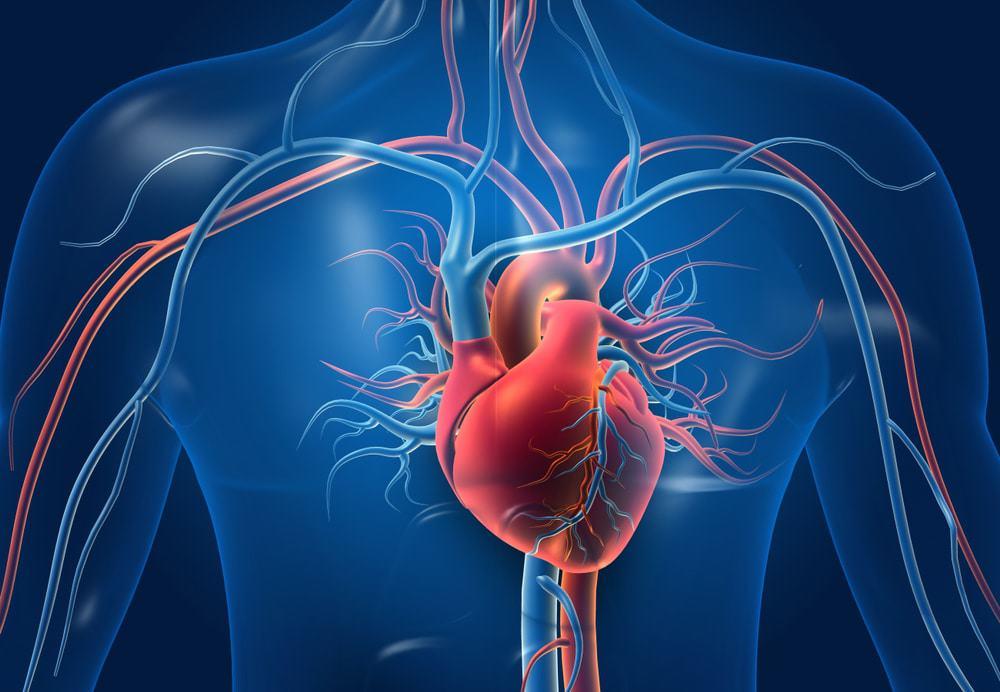 Ilustração 3d de coração humano e seus vasos sanguíneos