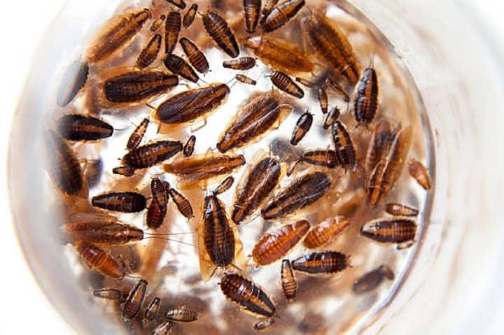 Várias baratas em uma placa de petri