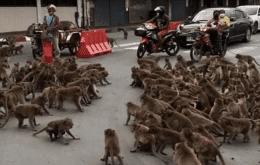 Deu a louca nos bichos: gangues de macacos rivais travam batalha na Tailândia
