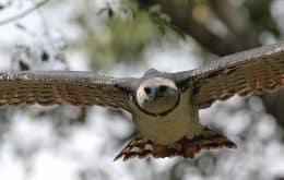 Desmatamento na Amazônia está matando maiores águias do mundo de fome