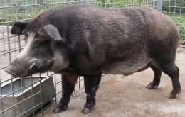 Boar pigs: wild boar-pig hybrids are contributing to climate change