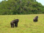 Chimpanzés são vistos atacando e matando gorilas pela primeira vez