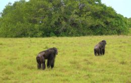Chimpanzés são vistos atacando e matando gorilas pela primeira vez; entenda o motivo