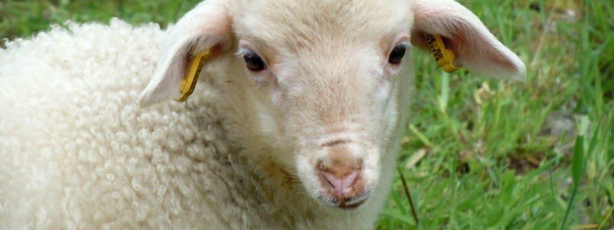 Uma ovelha filhote