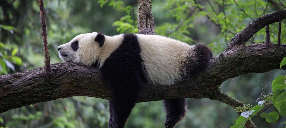 Panda gigante dormindo em um ramo de árvore, na reserva natural de Bifengxia, província de Sichuan.