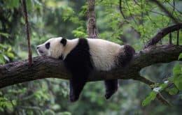 Pandas-gigantes deixam lista de animais em risco de extinção na China
