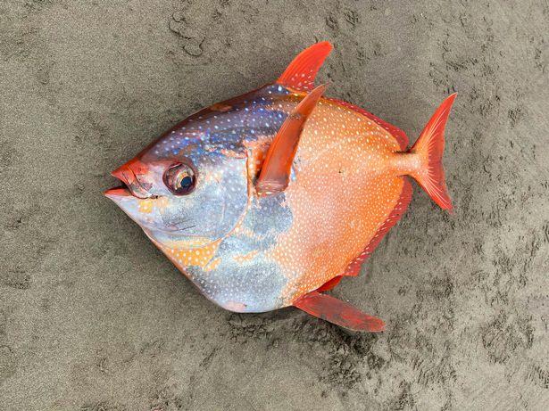 Peixe opah encontrado no Oregon