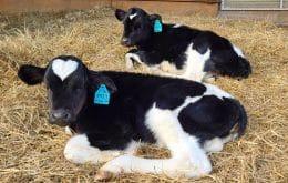 Primeiro bezerro clonado da Rússia abre caminho para gado com edição genética