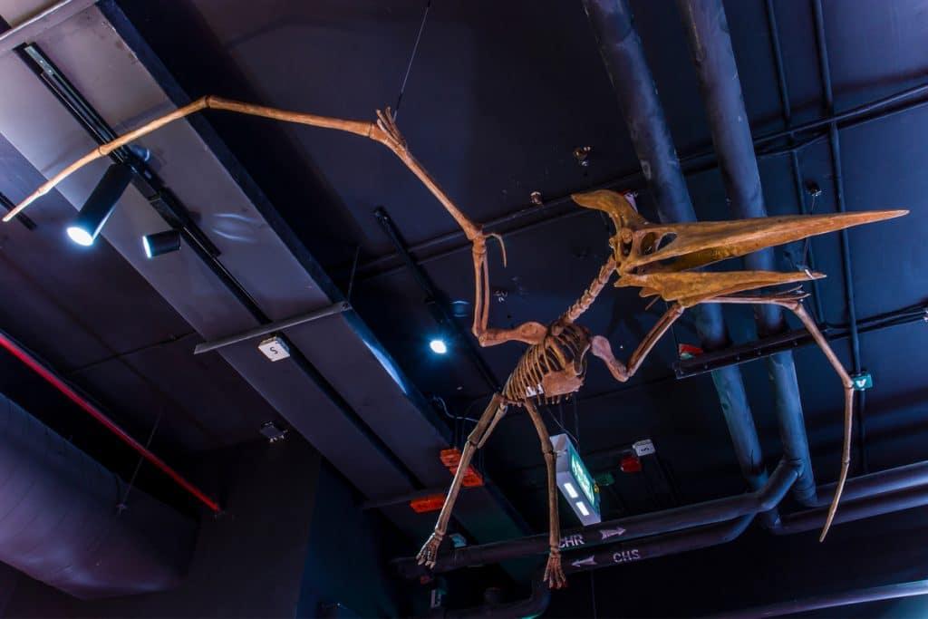 Imagem mostra o fóssil de um pterossauro, exposto em museu