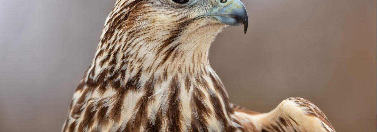 Image shows a hawk