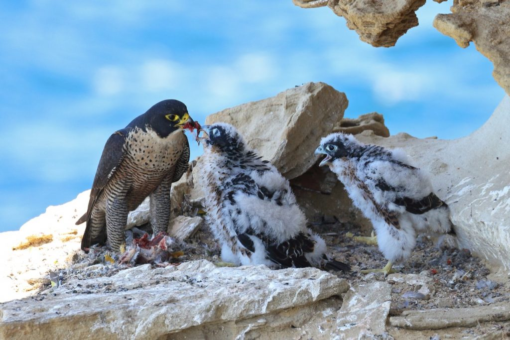 Image shows a nest of peregrine falcons. Global warming is causing hawk chicks to jump out of their nests before they can learn to fly, increasing the death rate for these animals