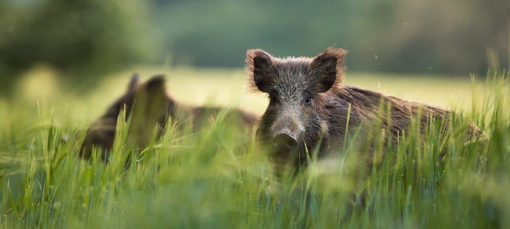 wild boar feeding in the field