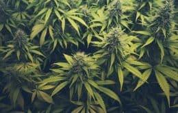 Cannabis foi domesticada pela primeira vez há 12 mil anos, segundo estudo