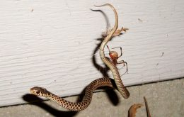Aranhas que comem cobras são mais comuns do que se imagina