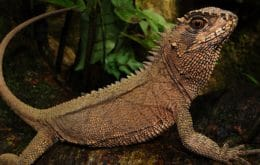 Nova espécie de lagarto semelhante a um dragão é descoberta nos Andes