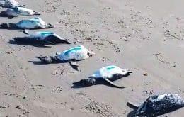 Bióloga explica aparecimento de 59 pinguins mortos no litoral de Santa Catarina