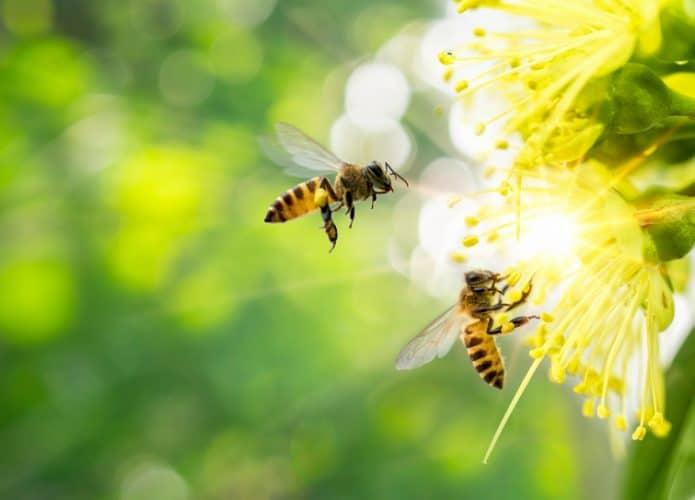 Abelha voando sobre uma flor amarela em um fundo desfocado