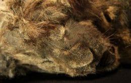 Leãozinho morto há 28 mil anos está tão bem preservado que parece estar dormindo; veja