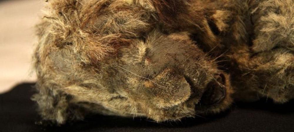 Sparta, filhote de leão das cavernas encontrado na Sibéria