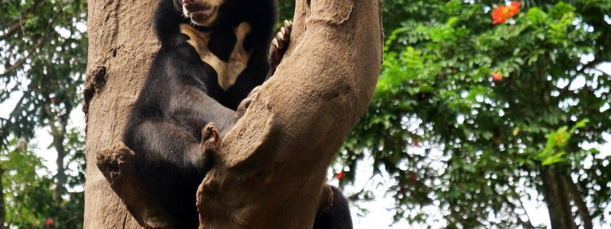 Urso-de-óculos sentado no tronco de uma árvore