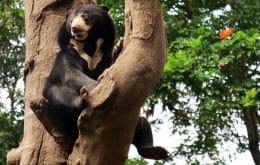Ameaçada de extinção, população de urso-de-óculos dobra do Peru
