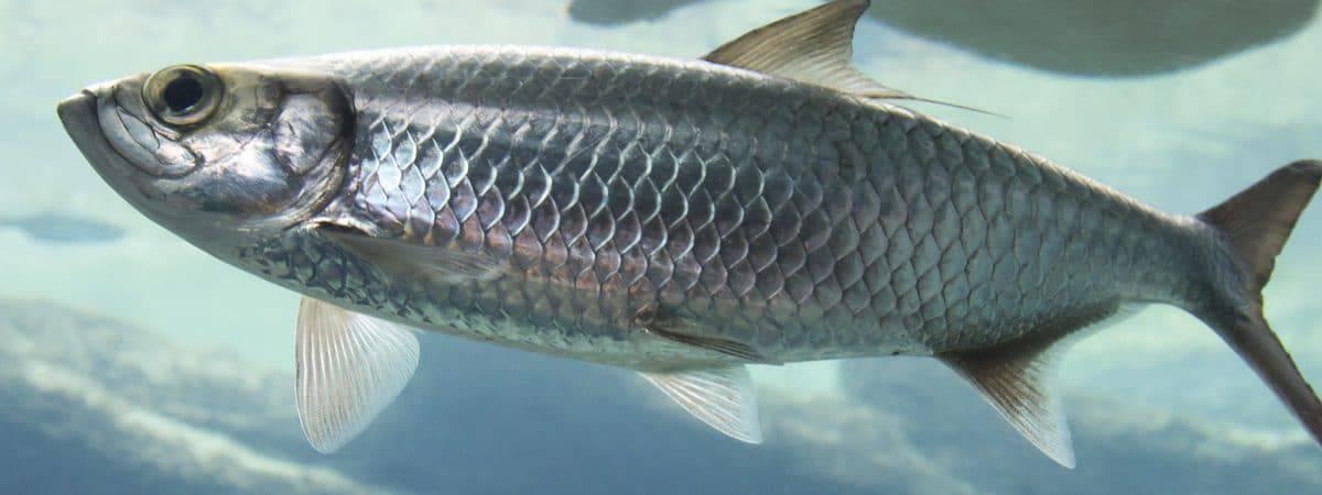 Imagem mostra um arenque, tipo comum de peixe, nadando no fundo do mar