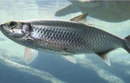 Aquecimento global pode causar a extinção de espécies comuns de peixes