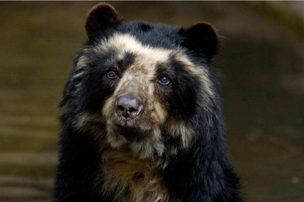 Imagem mostra um urso-de-óculos olhando para a câmera com curiosidade. Ele está à beira de um lago