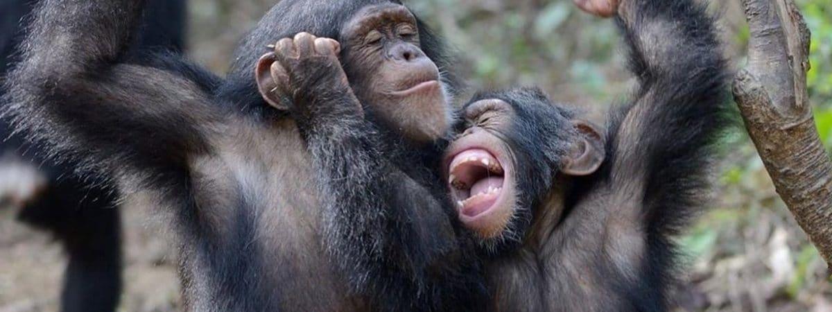 Dois chimpanzés brincando