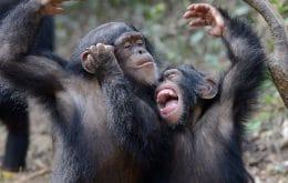 """Cumprimentos como """"oi"""" e """"tchau"""" são comuns entre chimpanzés, diz estudo"""